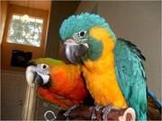 cдома,  поднятые и зарегистрирован синих и золотых попугаи ара для прод