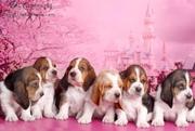 Высокопородные щенки Бассет - хаунда