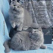 Британские длинношерстные котята.