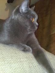 Британские котята без родословной